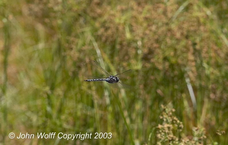 <b> Canada Darner in flight </b>