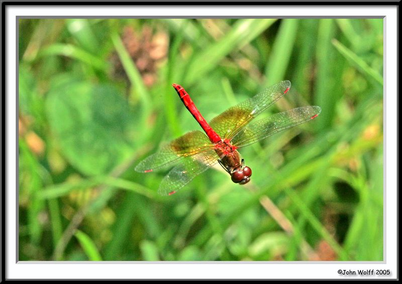 Banded Meadowhawk in Flight