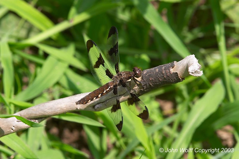 <b> Twelve Spotted Skimmer </b>  <i> Libellula pulchella</i> (Female)