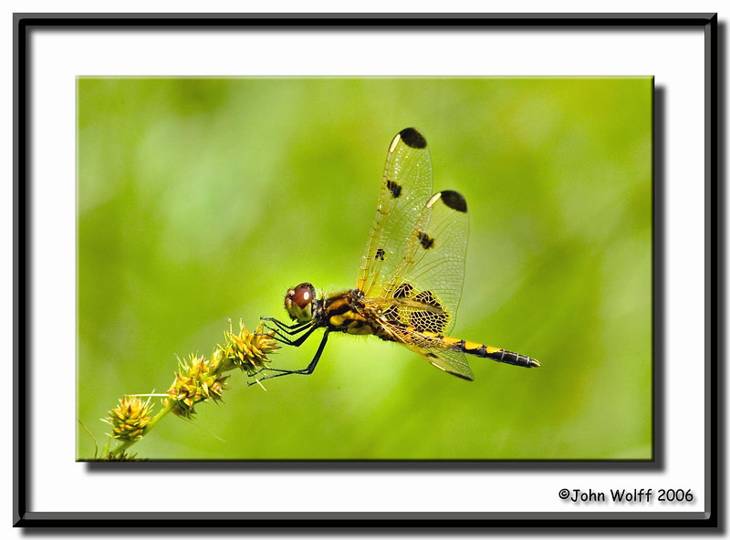 <h3>Calico Pennant -female</h3>