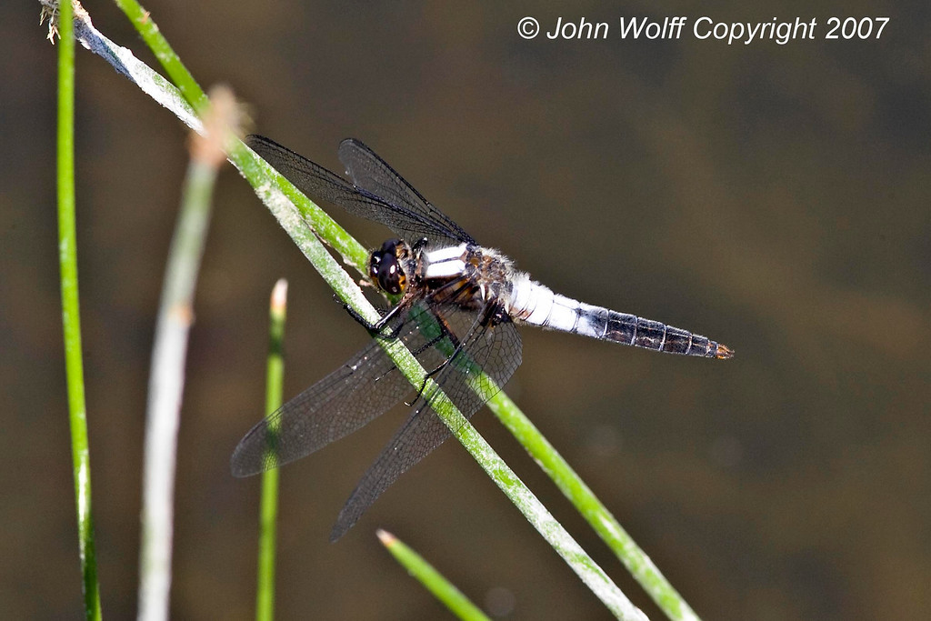 <h3>Chalk-fronted Corporal</h3>