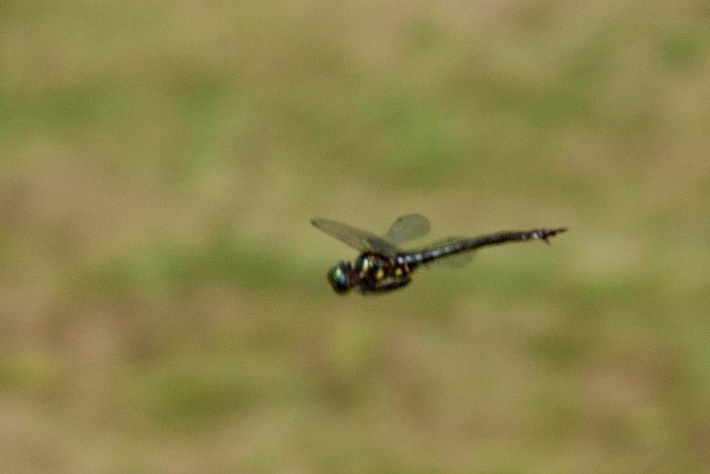 Brush-tipped Emerald in flight