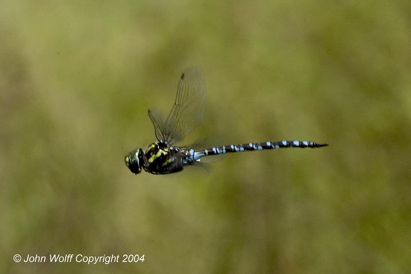 <b>Green-striped Darner in Flight</b>