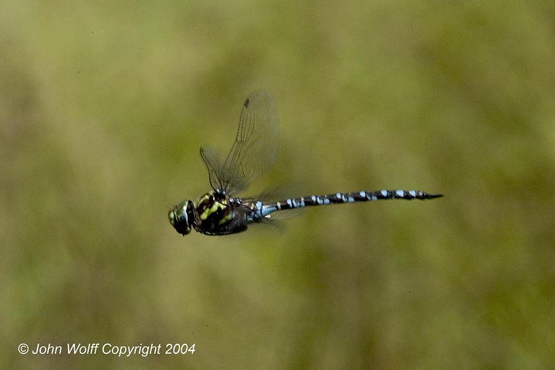 <b>Green-striped Darner in Flight</b>