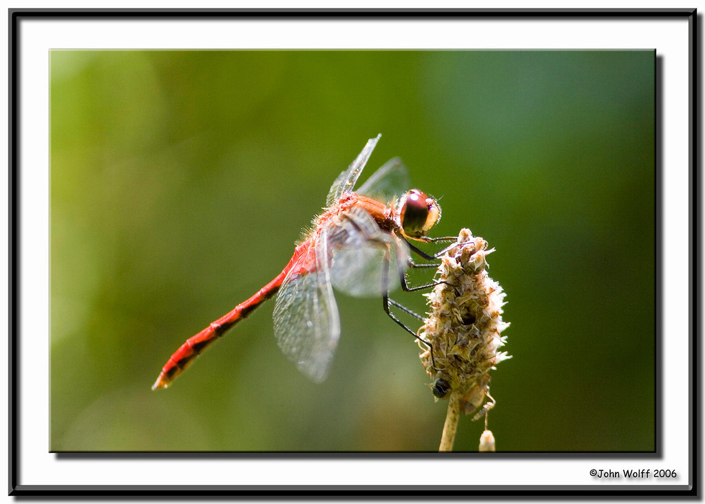 <h3>Whitefaced Meadowhawk</h3>