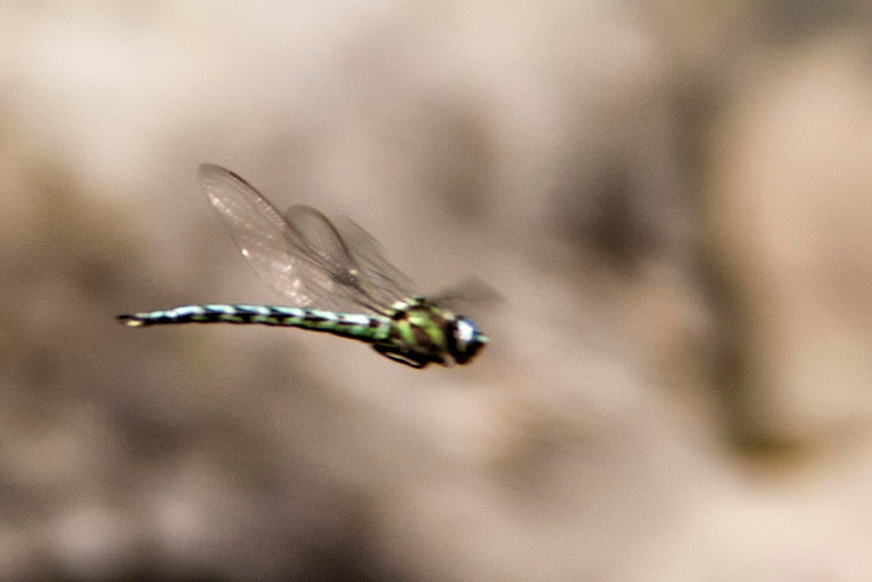 Cyrano Darner in flight