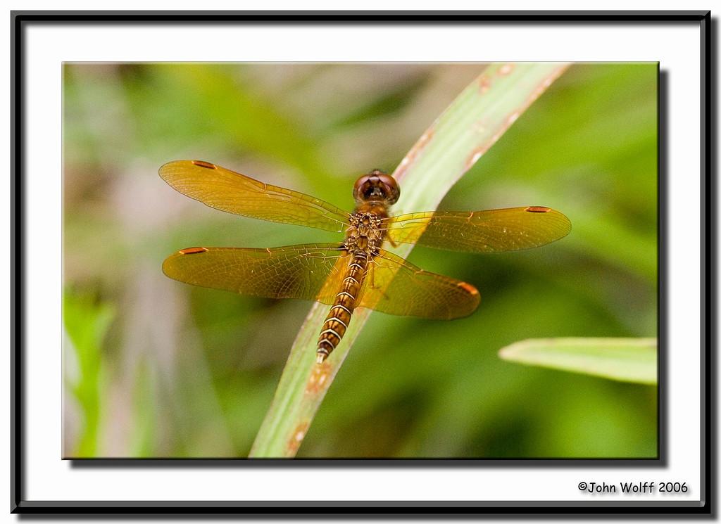 <h3>Eastern Amberwing - male</h3>