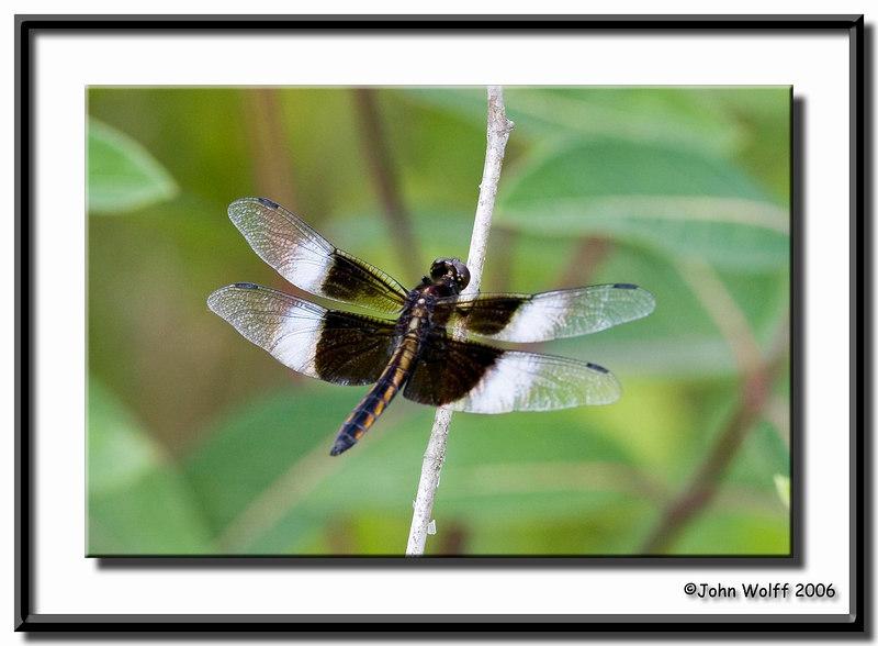 <h3>Widow Skimmer - male</h3>