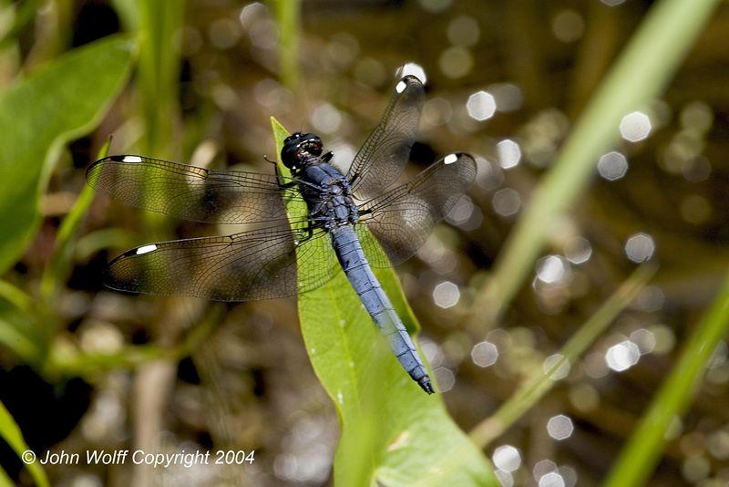 Spangled Skimmer - Male