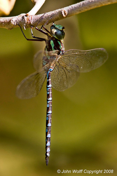 <b>Green-striped Darner</b>
