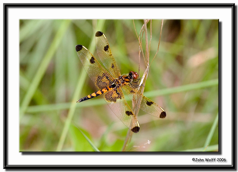 <h3>Calico Pennant - female</h3>
