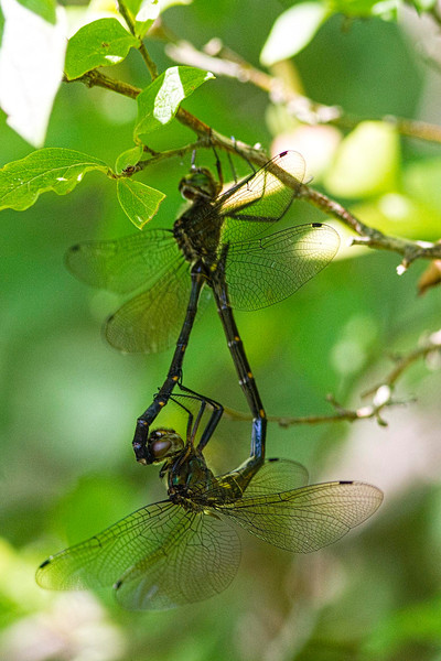 Mocha Emerald mating pair - very rare photograph