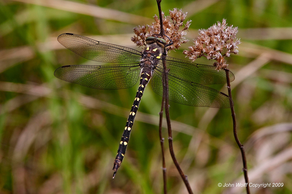 <b>Twin-spotted Spiketail</b>