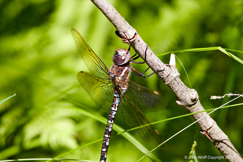<b>Black-tipped Darner</b>