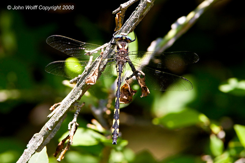 <h3>Twin Spotted Spotted Spiketail</h3>