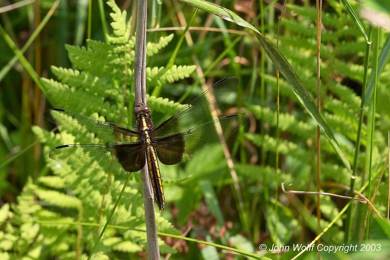 <b> Widow Skimmer </b> <i> Libellula luctuosa </i>