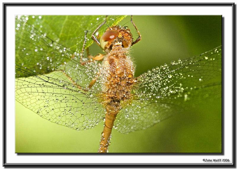 <h3>Meadowhawk - femalewith morning dew</h3>