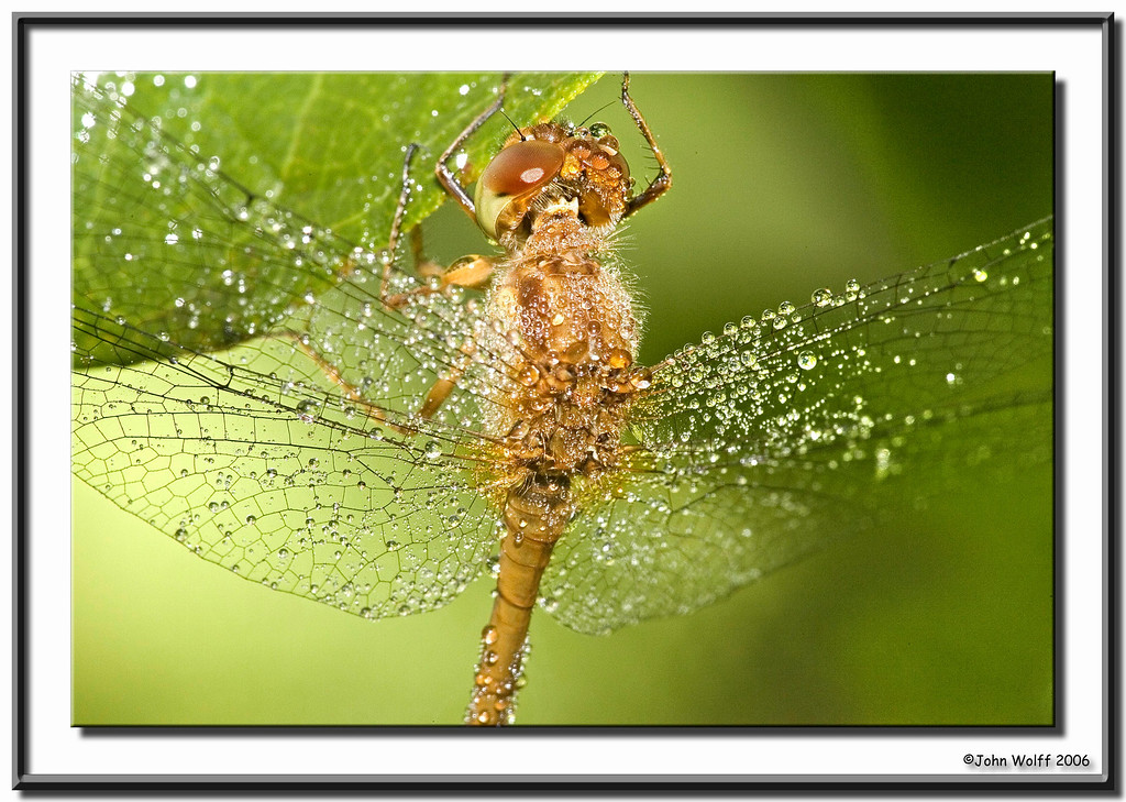 <h3>Meadowhawk - femalewith morning dew</h3>