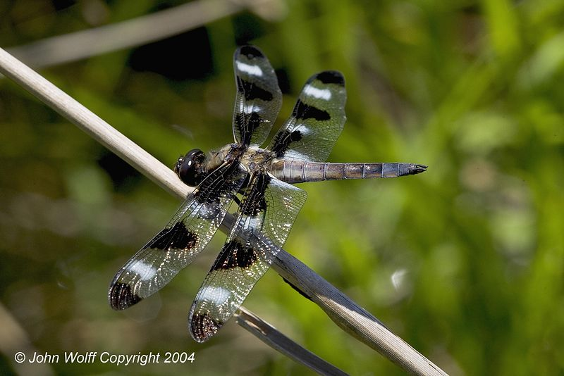 12 Spotted Skimmer