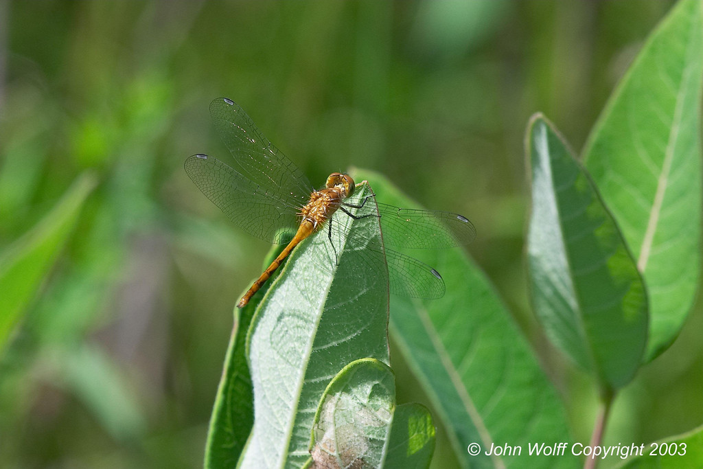 <b> White Faced Medowhawk </b>  <i> Sympetrum obtrusum </i>  (Female)