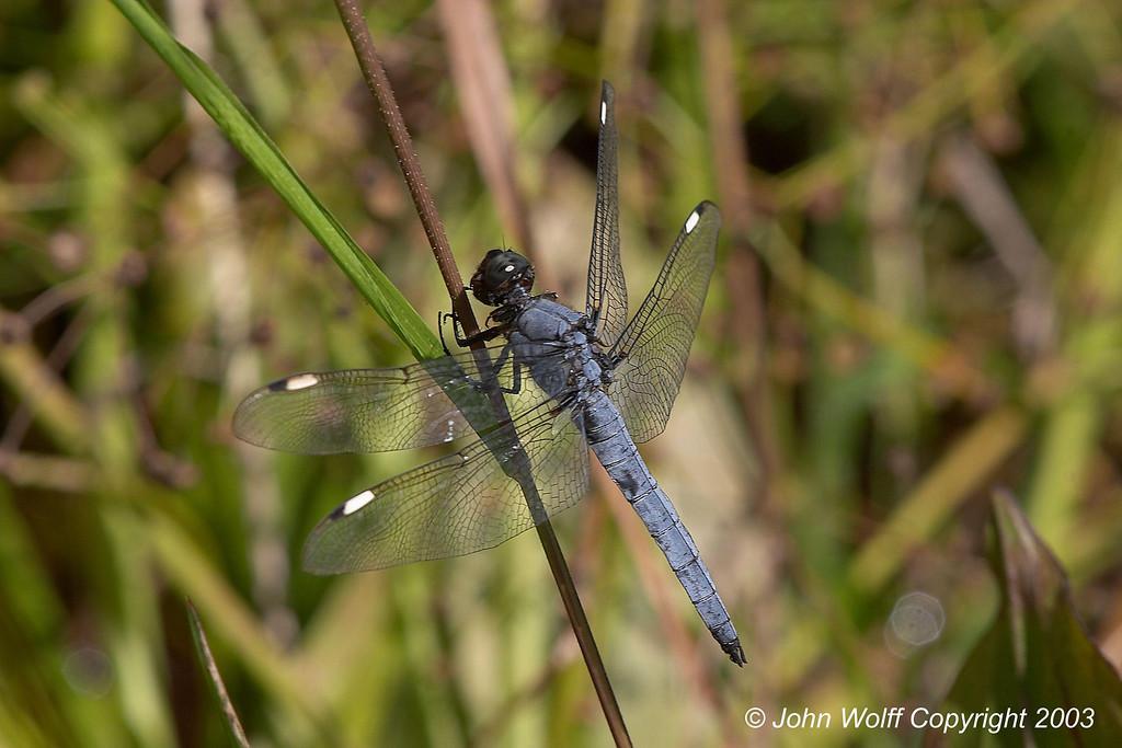<b> Spangled Skimmer </b> <i> Libellula cyanea </i>