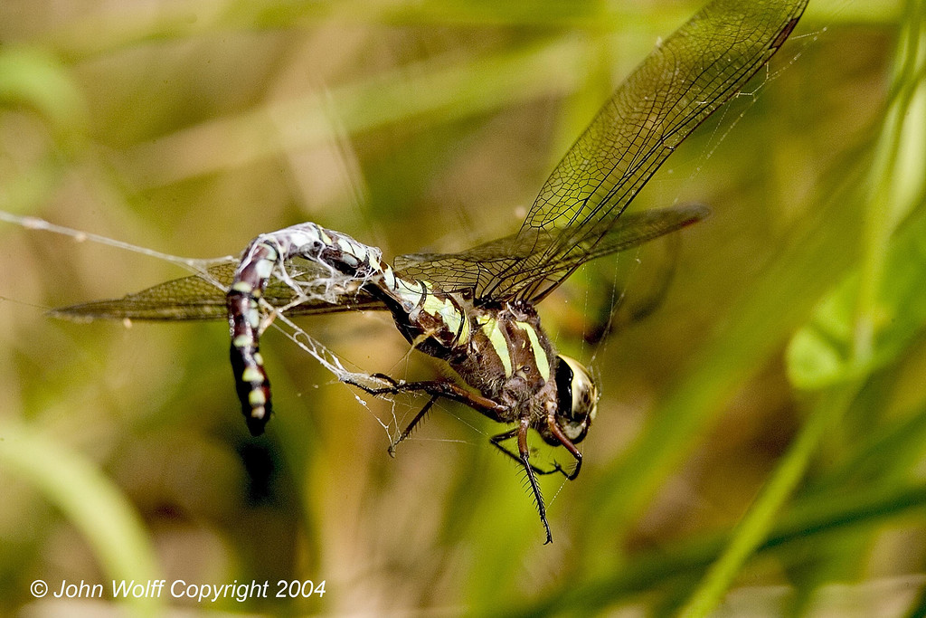 <h3>Green-side Darner caught in a web</h3>
