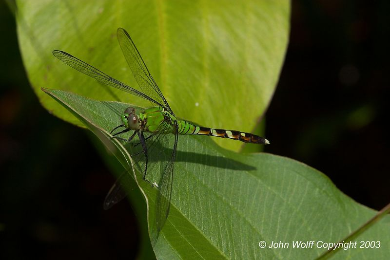 <b>Eastern Pondhawk  </b>  <i> Erythemis simplciollis</i> (Female)
