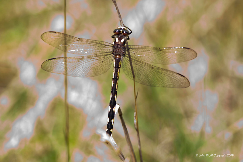 <b>Delta-spotted Spiketail</b>