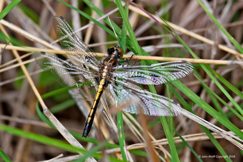 <b>Dot-tailed Whiteface female</b>