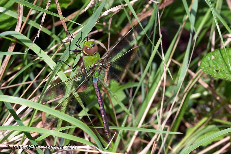<b> Common Green Darner </b> <i> Anax junius </i> (Female)