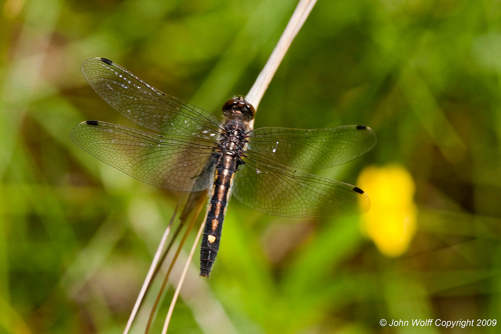 <b>Dot-tailed whiteface - female</b>