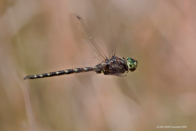 <b>Harlequin Darner in Flight</b>