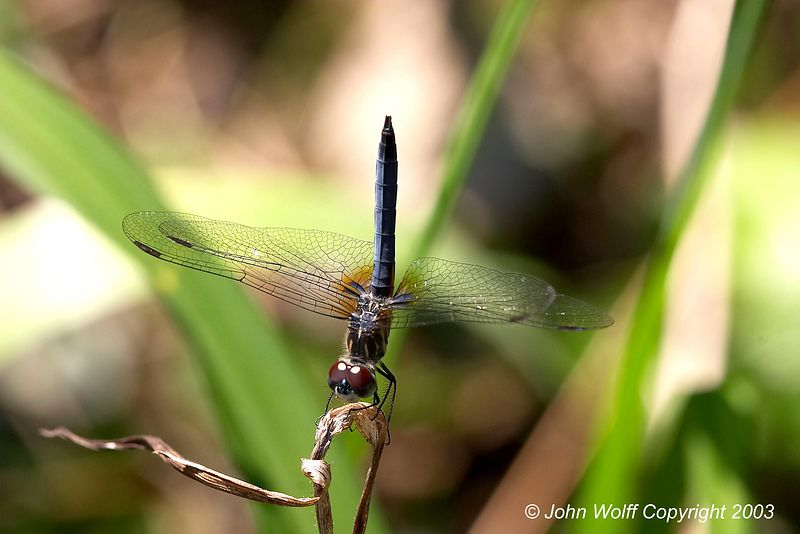 <b> Blue Dasher </b>  <i> Pachydiplax longipennis </i>