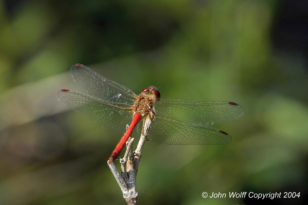Yellow-legged Meadowhawk