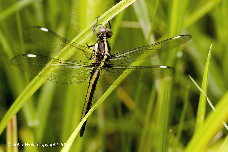 Spangled Skimmer - Female