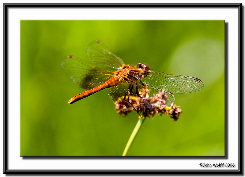 <h3>Banded meadowhawk</h3>