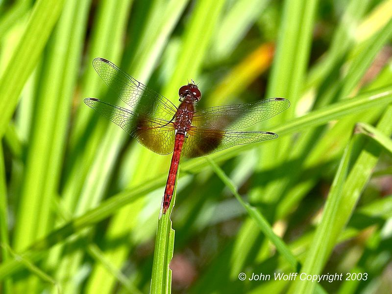 <b> Band-Winged Meadowhawk </b> <i> Sympetrum semicinctum </i>