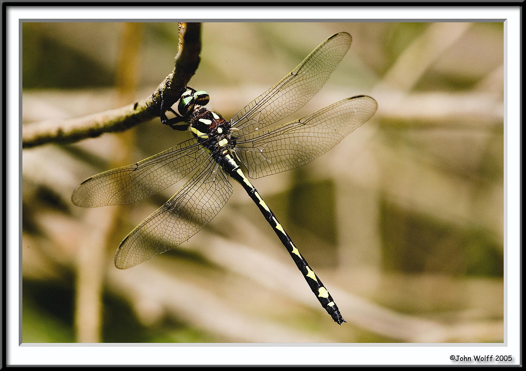 <h3>Arrowhead Spiketail</h3>