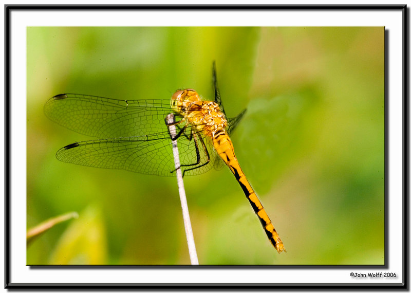 <h3>White-faced Meadowhawk - female</h3>