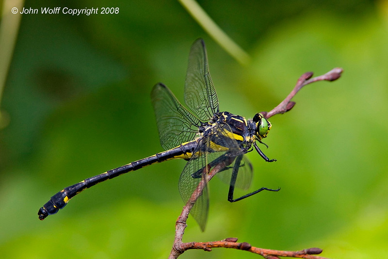 Dragonhunter - largest N.E. dragonfly