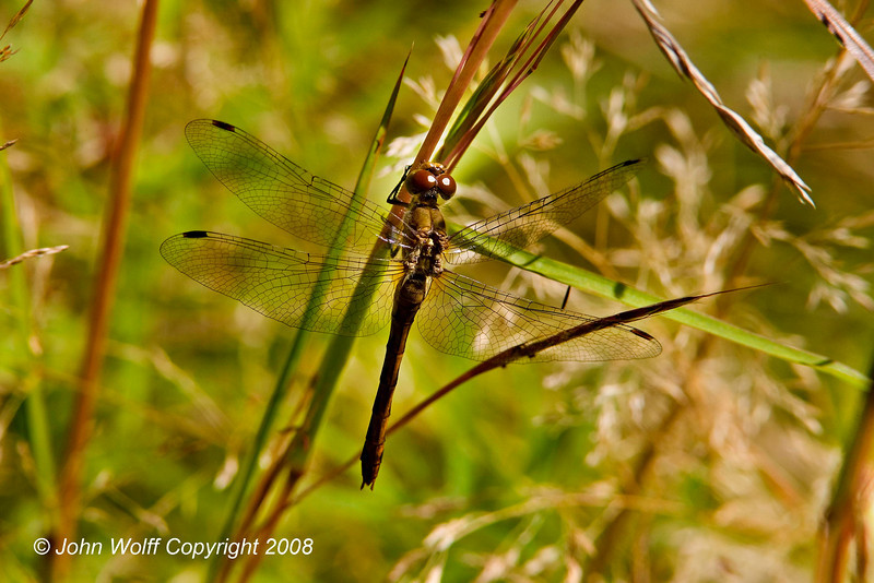 <b>Female Meadowhawk