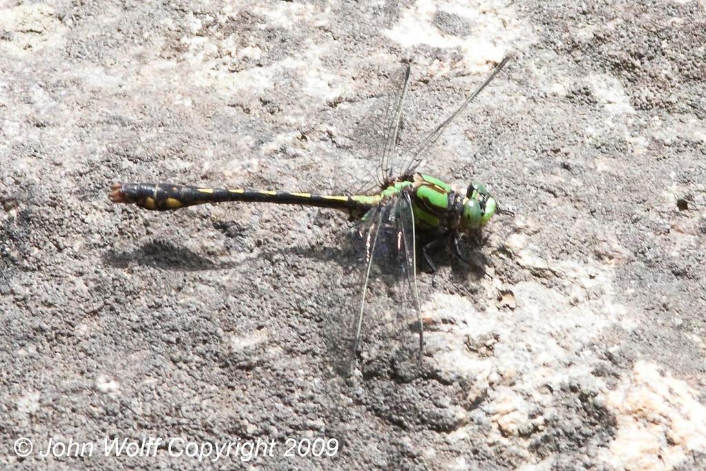 <b>Maine Snaketail</b>
