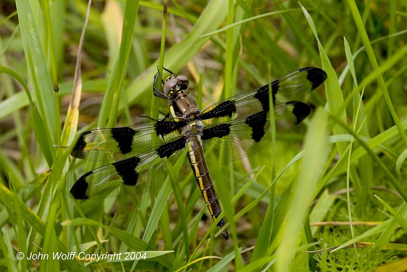 <b> 12 Spotted Skimmer Female  </b>