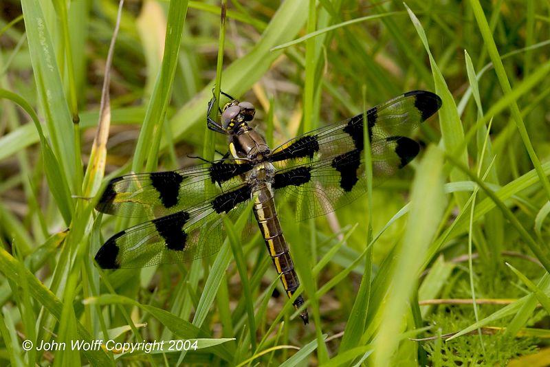 <b> 12 Spotted Skimmer Female  </b>
