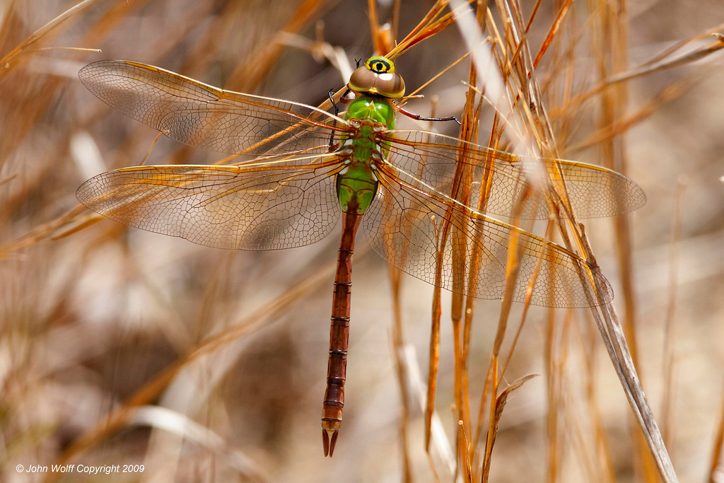 <b>Common Green Darner</b>