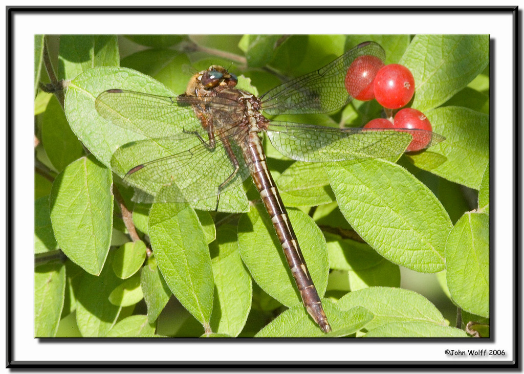 <h3>Ashy Clubtail eating a bee</h3>