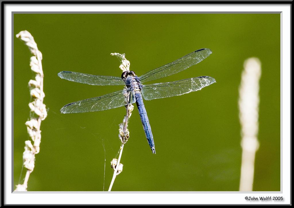 <h3>Great Blue Skimmer</h3>