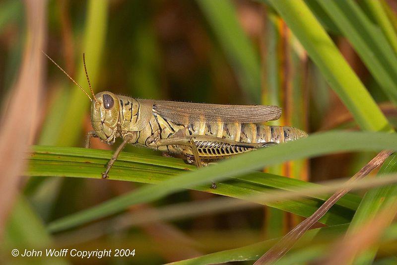 <b> Grasshopper </b>