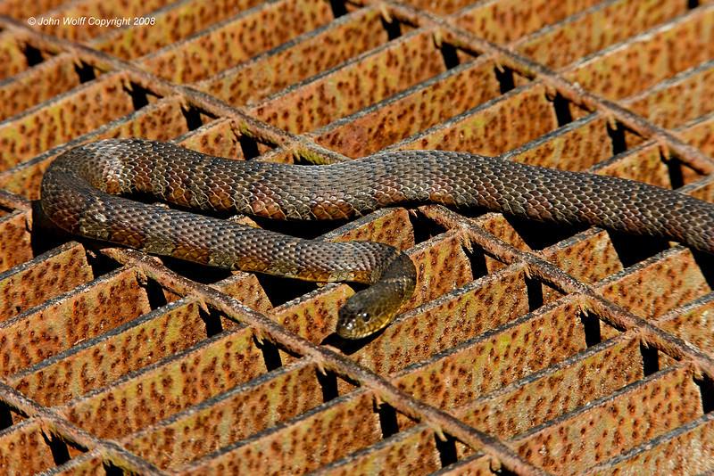 """""""Grate"""" Snake"""