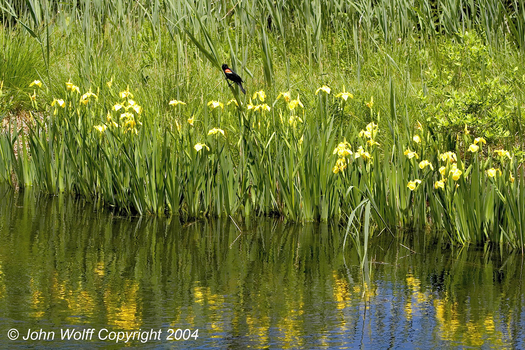 Red Winged Blackbird amid Yellow Flags